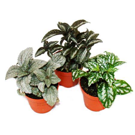 Set mit 3 verschiedenfarbige Kanonier-Pflanzen, Pilea, Schleuderblume, 9cm Topf