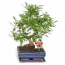 Bonsai Szechuan pepper - Zanthoxylum piperitum - 8 years