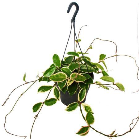 "Indoor plant to hang - Hoya carnosa ""Krimson Queen"" XXL - porcelain flower - wax flower - 19cm traffic light"