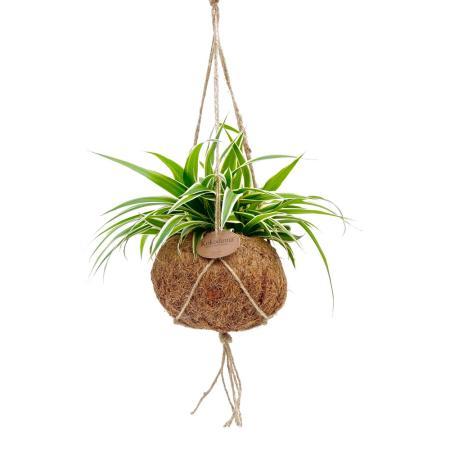 Kokodama - Chlorophytum in a Kokodama vessel to hang - green lily - approx. 15cm