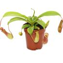 Pitcher Plant - Nepenthes - 9cm pot