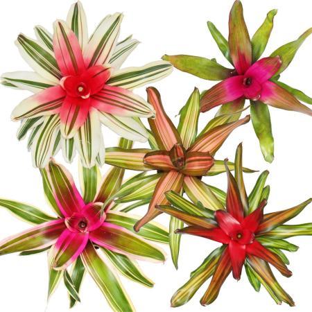 Nestananas - Neoregelia - Bromelie in wunderbaren Farben - 12cm Topf