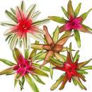 Nest pineapple - Neoregelia - Bromeliad in wonderful...