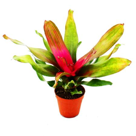 """Nest pineapple - Neoregelia """"Donna"""" - bromeliad in wonderful colors - 12cm pot - green with pink center"""