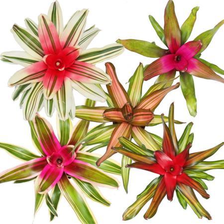 Nestananas - Neoregelia - Bromelie in wunderbaren Farben - 12cm Topf - Set mit 5 verschiedenen Pflanzen