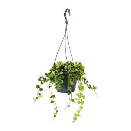 Houseplant to hang - Hoya curtisii - Waxflower 14cm hanging pot