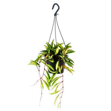 Houseplant to hang - Hoya wayetii tricolor - Waxflower 14cm hanging pot