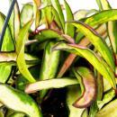 Zimmerpflanze zum Hängen - Hoya wayetii tricolor -...