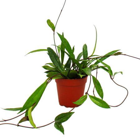 Indoor plant to hang - Hoya pubicalyx- porcelain flower - wax flower 12cm