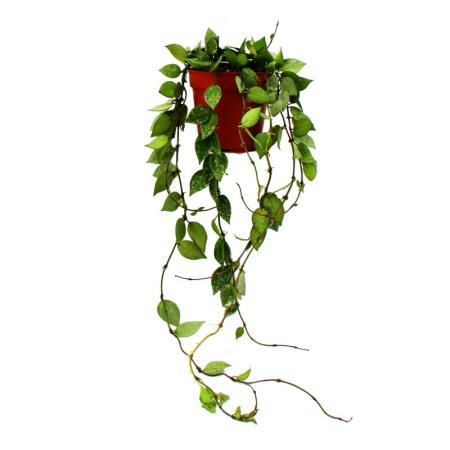 Indoor plant to hang - Hoya krohniana Eskimo - porcelain flower - wax flower 12cm