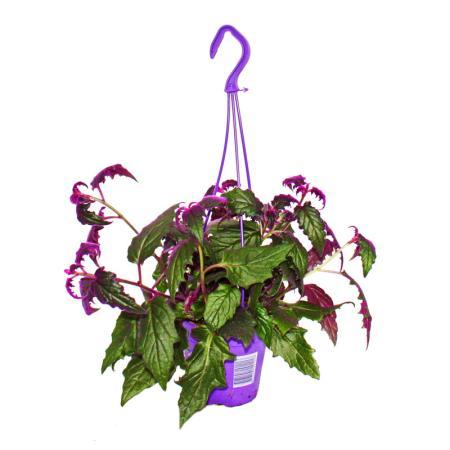 Gynura Purple Passion - Velvet-Leaf - Purple Plant - 14cm hanging pot