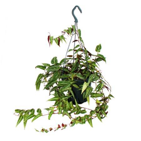 Indoor plant to hang - Amazon jungle vine - Parthenocissus amazonica - 14cm hanging pot