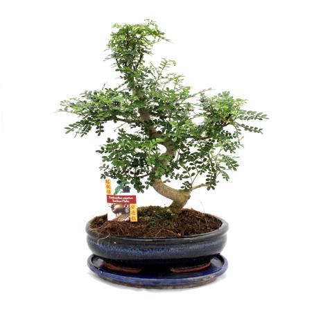 Bonsai Szechuan-Pfeffer - Zanthoxylum piperitum - ca. 12-15 Jahre