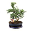 Bonsai Szechuan pepper - Zanthoxylum piperitum - 12-15 years
