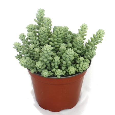 Sedum morganianum burritum - Affenschaukel - 12cm Topf