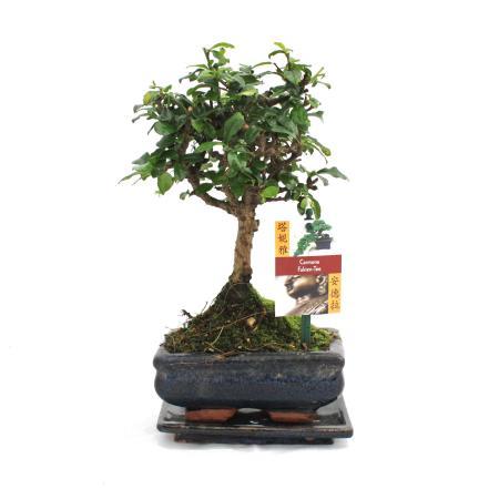 Bonsai Fukientee - Carmona microphylla - ca. 6 Jahre - Kugelform