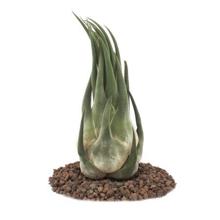 Tillandsia seleriana - loese Plant - big