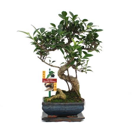 Bonsai Chinese fig tree - Ficus retusa - 6 years