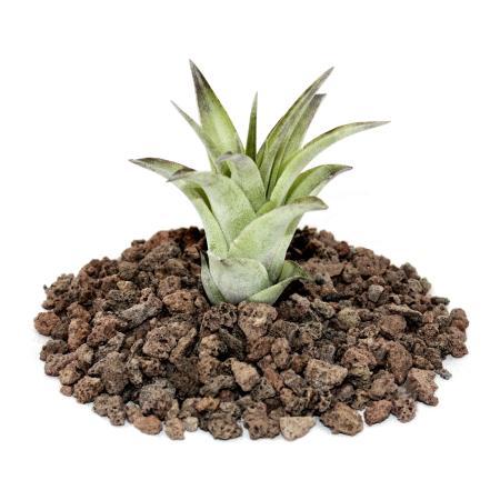 Tillandsia brachycaulos mutliflora - lose Pflanze klein