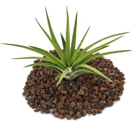 Tillandsia brachycaulos abdida - loose Plant big