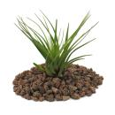 Tillandsia melanocrater tricolor - green - loose Plant small