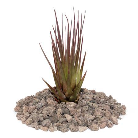 Tillandsia melanocrater tricolor - rot - lose Pflanze -  klein