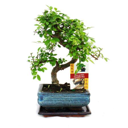 Bonsai Chinese elm - Ulmus parviflora - 6 years
