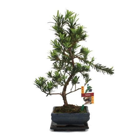 Bonsai Podocarpus - Podocarpus macrophyllus - 6 years