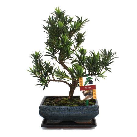 Bonsai Steineibe - Podocarpus macrophyllus - ca. 8 Jahre