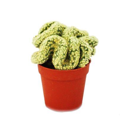 """Mammillaria elongata cristata - """"small brain"""" - in a 8.5cm pot"""