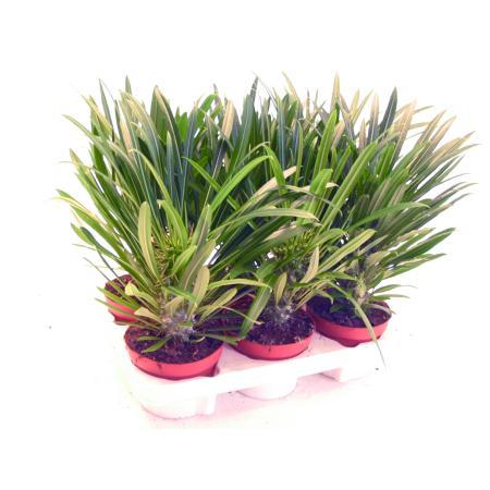 Pachypodium Lameri - Real Madagascar Palm - 9cm pot