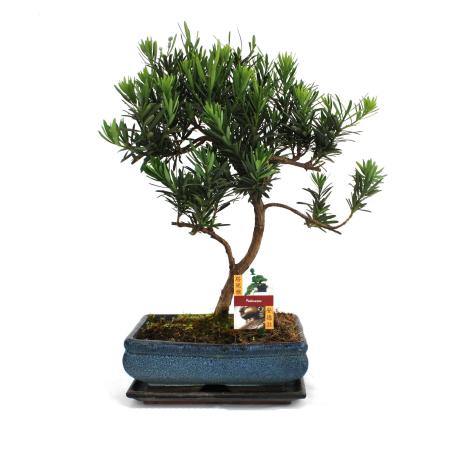 Bonsai Podocarpus - Podocarpus macrophyllus - 12-15 years