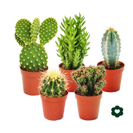 5 different Cactus - small collection - 5,5cm