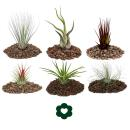 6 of the most popular Tillandsia Set