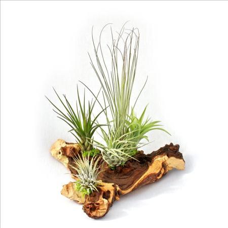 Tillandsia Arrangement on Mopaniwurzel - XXL - 5 plants