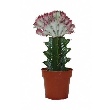 Euphorbia lactea cristata grafted - 8.5cm pot