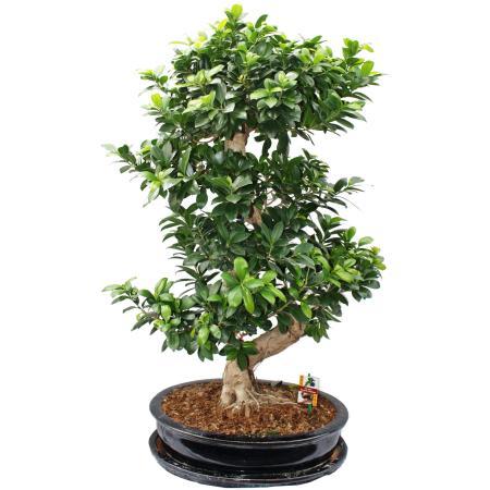 Bonsai Thai Ficus - Ficus microcarpa - 12-15 years - in ceramic bowl