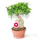 Bonsai Ficus Ginseng - 20cm Pot