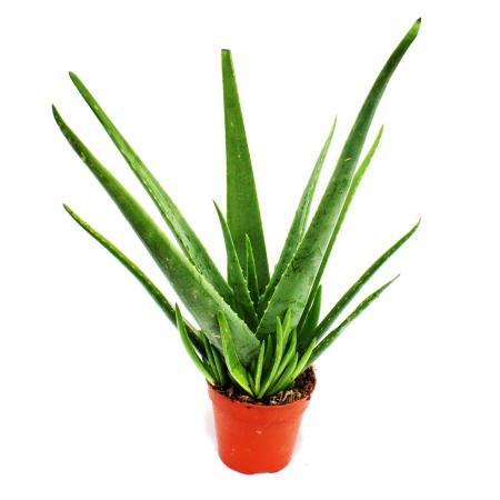 Aloe vera - approx. 4-5 years old - 15cm pot