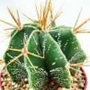 Astrophytum ornatum - Bischofsmütze - im 5,5cm Topf