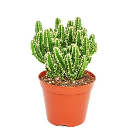 Cereus floridianus - green fingers - in a 5.5cm pot