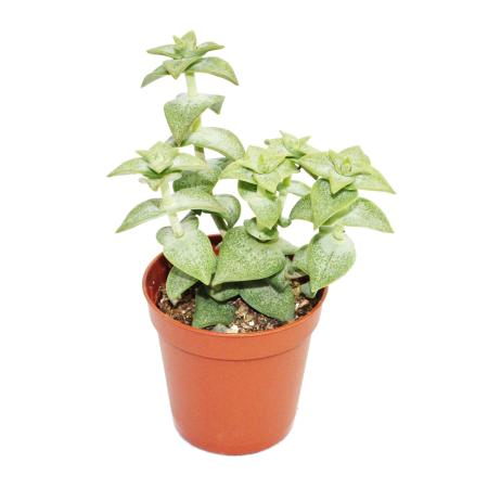 Crassula perforata - kleine Pflanze im 5,5cm Topf