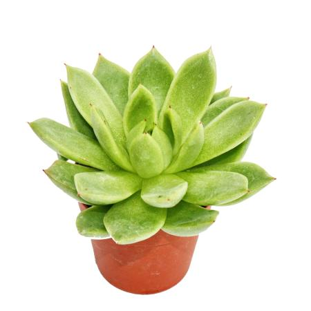 Echeveria agavoides - kleine Pflanze im 5,5cm Topf