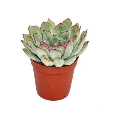 Echeveria pulidonis - small plant - 5,5cm pot