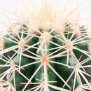 Echinocactus grusonii - mother-in-law chair - in a 5.5cm pot