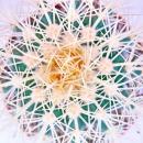 Echinocactus grusonii - Schwiegermutterstuhl - im 5,5cm Topf