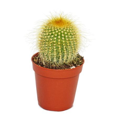 Eriocactus leninghausii - kleine Pflanze im 5,5cm Topf