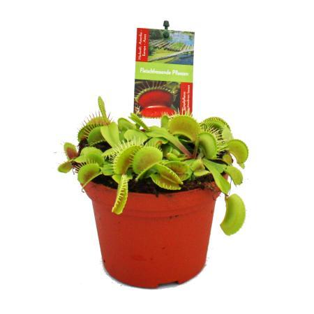 Venus Flytrap - Dionaea muscipula - 12cm pot