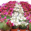 5 flowering cacti in a set