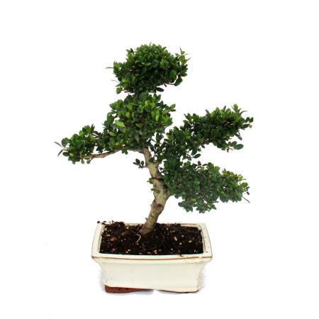 Bonsai Ilex crenata - Japanese Holly 6 years